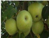 Tüplü Hüryemez Elma Fidanı