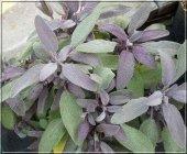 Mor Ada Çayı Fidesi (Salvia Officinalis Purpurmantel) (4 Adet F