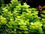 Lysimachia Nummulari 1 Bağ Bitki Canlı Bitki
