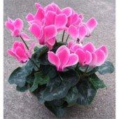 Seklemen Şıklamen Çiçeği (Karışık Renkli)