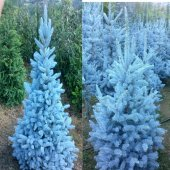 Tüplü Aşılı Mavi Ladin(120 150 Cm)