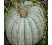 Arıcan 97 Beyaz Balkabağı Tohumu 100 Gr 400 Adet T...