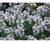 Kekik Çiçeği Tohumu