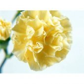 Mini Sarı Karanfil