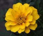 Sarı Kadife Çiçeği 25+tohum