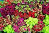 Yaprak Güzeli Tohumu