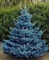 Mavi Ladin Tohumu 5 Gr (1000 Adet) Çam Tohumu Mavi Ladin Çam Ağacı Tohumu Ağaç Tohumu