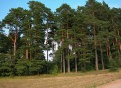 Sarıçam Tohumu 500 Gr (50.000 Adet) Pinus Sylvestris Tohumu Sarıçam Tohumu Sarıçam Ağacı Tohumu Sarıçam