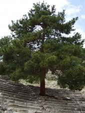 Kızılçam Tohumu 500 Gr (7.500 Adet) Pinus Brutia Tohumu Kızılçam Ağacı Tohumu