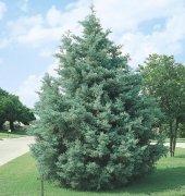 Mavi Servi Tohumu 500 Gr (60.000 Adet) Selvi Ağacı Tohumu Cupresssus Arizonica Çamı Tohumu Arizona Servisi Tohumu