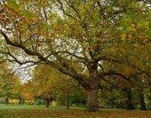 çınar Ağacı Tohumu 100 Gr (22.000 Adet) Çınar Tohumu Platanus Orientalis Tohum Doğu Çınarı Tohumu