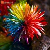 Hollandadan İthal Raınbow Kasımpatı (Chrysanthemum) Çiçeği To