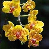 5 Adet Rainbow Gül Tohumu Hediye 10 Adet Phalaenopsis Orkidesi Tohumu