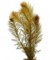 Myriophyllum Sp. Roraima, 5 Adt. Akvaryum Bitkisi, Bitki