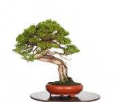 çin Ardıç Bonsai Yapılabilir Ağaç Set' İ