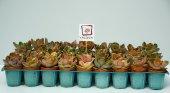 45 Li Sukulent Bahçesi Yalova Posta Pazarı Canlı Succulent